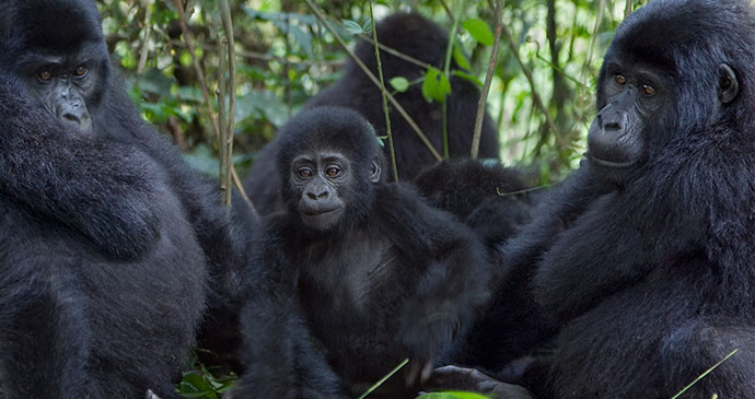 Mountain gorillas Virunga National Park Congo byPhotodynamic, Shutterstock