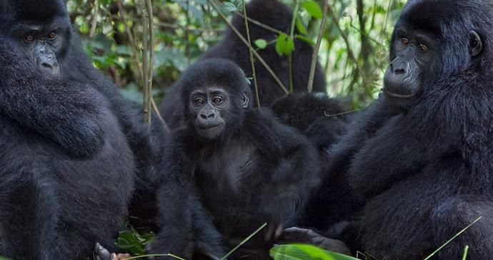 Gorillas in Rwanda by Photodynamic, Shutterstock