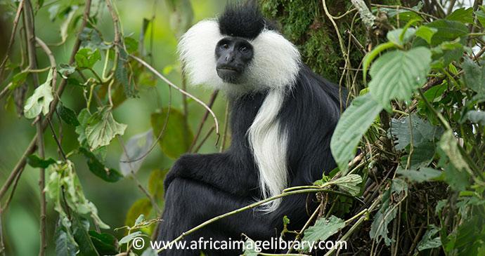 Rwenzori colobus Nyungwe National Park Rwanda by Ariadne Van Zandbergen