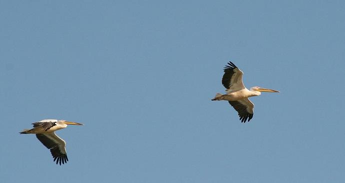 Pelicans Parc National des Oiseaux de Djoudj Senegal by Remi Jouan wikimedia Commonsq