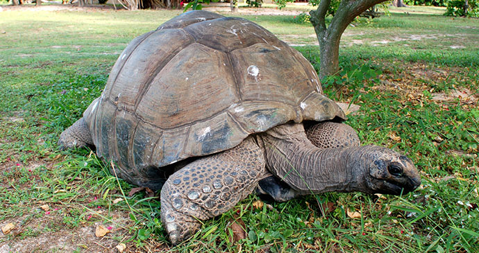 Giant tortoise Aldabra Seychelles by Gerard Larose Seychelles Tourism Board