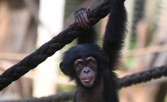 Chimpanzees at Tacugama Chimpanzee Sanctuary Sierra Leone by Izzy Hirji Tacugama Chimpanzee Sanctuary