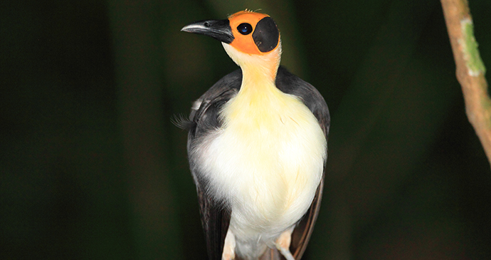 White-necked picathartes in Sierra Leone by feathercollector, Shutterstock