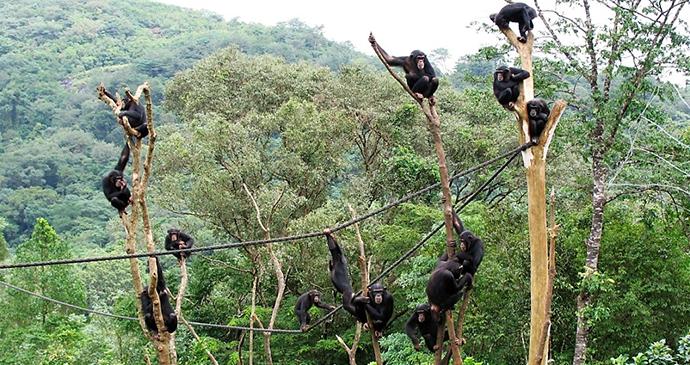 Chimpanzees at Tacugama Chimpanzee Sanctuary Sierra Leone by Tacugama Chimpanzee Sanctuary