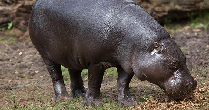 Pygmy hippo Sierra Leone by Vladimir Wrangel, Shutterstock