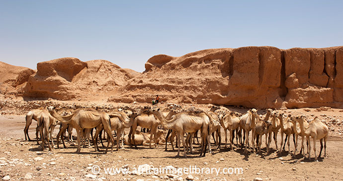 Camels Somaliland by Africa Image Library