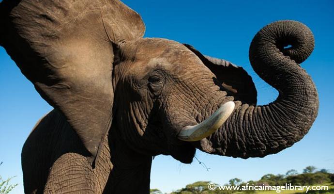 Elephant Kruger National Park South Africa by Ariadne Van Zandbergen
