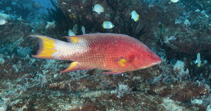 Island hogfish St Helena by Scott Bennett
