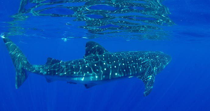 Whale shark Ascension by Marine society, EMD