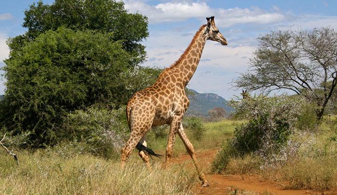 Giraffe eSwatini by Mike Unwin