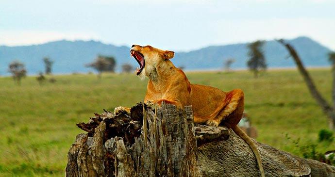 Lion Serengeti Tanzania by SajjadF