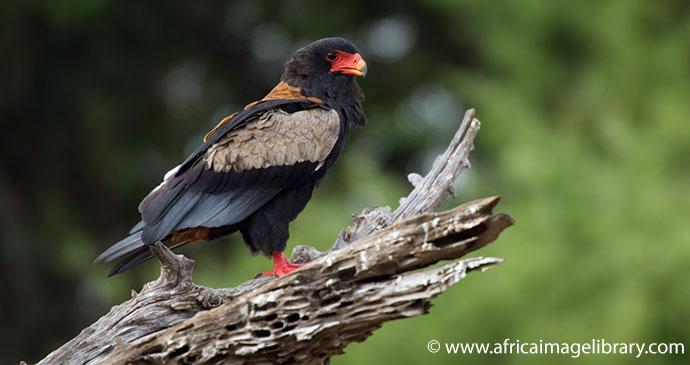 Bateleur eagle Mikumi National Park Tanzania by Ariadne Van Zandbergen, Africa Image Library