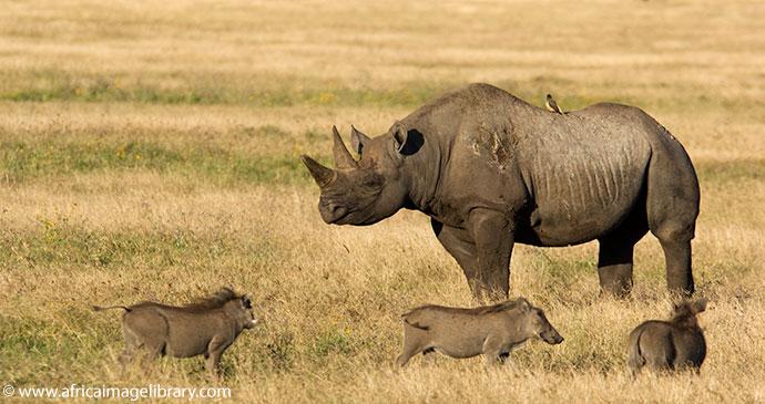 Black rhino Ngorongoro Crater Tanzania by Ariadne Van Zandbergen
