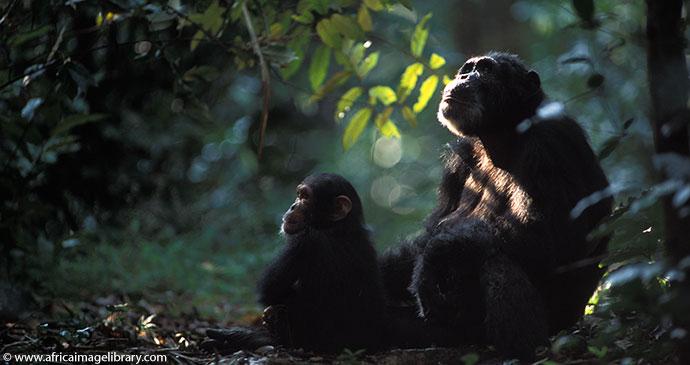 Chimpanzees Gombe Stream National Park Tanzania by Ariadne Van Zandbergen