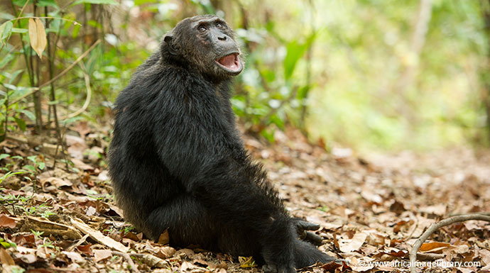 Chimpanzee Mahale Mountains National Park Tanzania by Ariadne Van Zandbergen, Africa Image Library