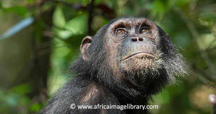 chimpanzee in Tanzania by Ariadne Van Zandbergen
