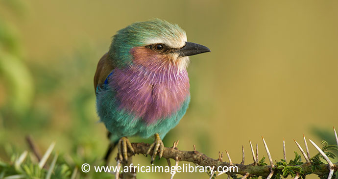 Lilac-breasted roller Serengeti Tanzania by Ariadne Van Zandbergen, Africa Image Library