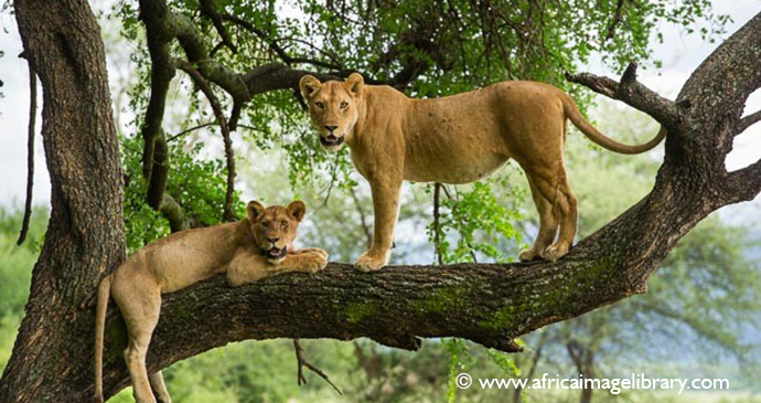 Tree-climbing lion Lake Manyara National Park Tanzania by Ariadne Van Zandbergen