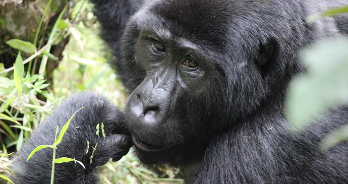 Gorilla in Bwindi Impenetrable National Park, Uganda - Kombi Nation Tours