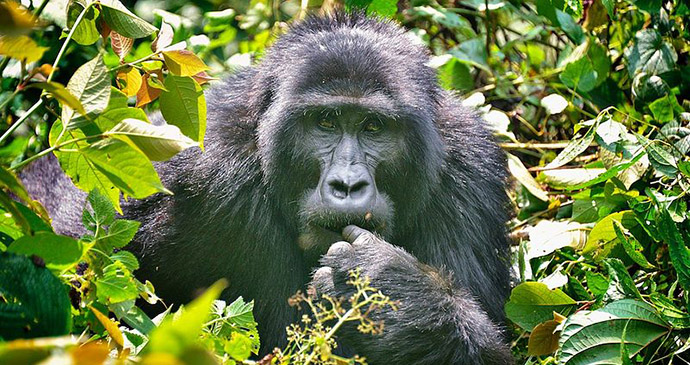 gorilla, Bwindi, Uganda by Rod Wadding, Wikimedia Commons best forests in the world