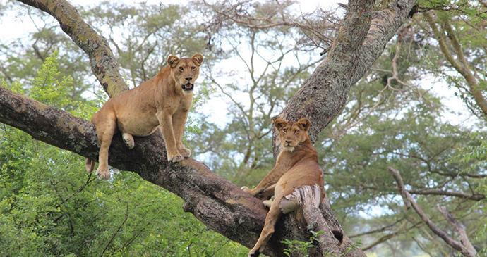 Tree Climbing Lions at Ishasha in Queen Elizabeth National Park, Uganda, Kombi Nation Tours