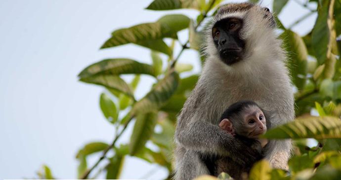 Vervet Monkey and Baby at Murchison Falls National Park, Uganda, Kombi Nation Tours