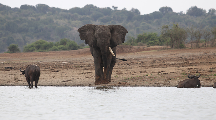 Elephant in the water © Dom Tulett
