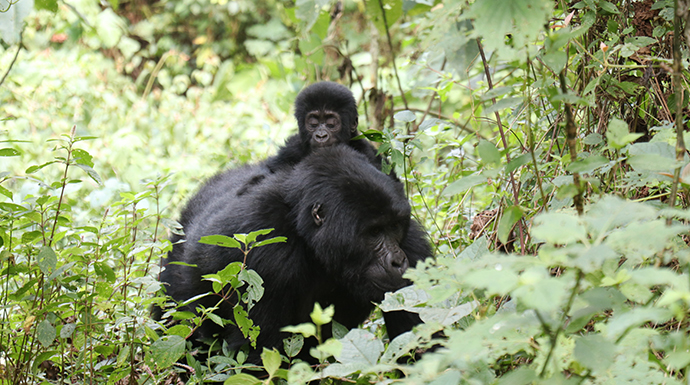 Female gorilla with infant, Uganda © Dom Tulett