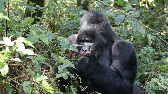 Gorilla eating berries, Uganda © Dom Tulett
