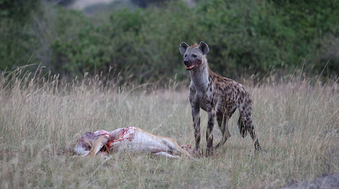 Guilty hyena in the twilight © Dom Tulett