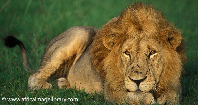 Lion Queen Elizabeth National Park Uganda by Ariadne Van Zandbergen