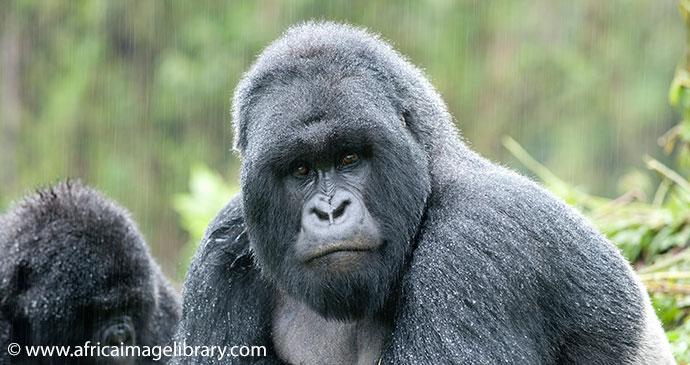 Gorilla Tracking Ariadne Van Zandbergen