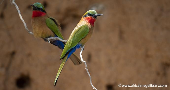 Red-throated bee-eater Ariadne Van Zandbergen