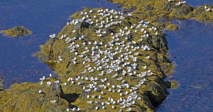 Kittiwakes in Latrabjarg, Iceland © BMJ, Shutterstock