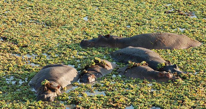 Hippos, Zambia, by Tricia Hayne