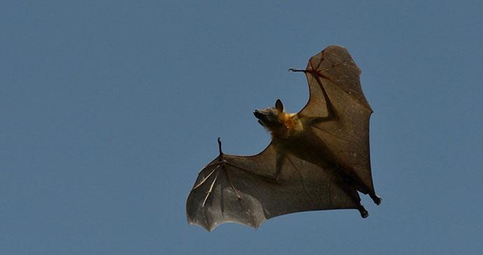 Bat Kasanka National Park Zambia by Chris Meyer