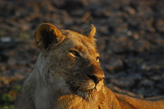 Lioness Zambia by Tricia Hayne