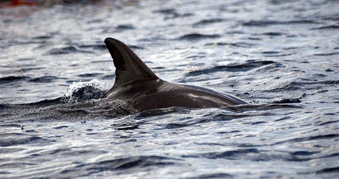 Bottlenose dolphin Menai Bay Zanzibar Tanzania by Attila JANDI, Shutterstock