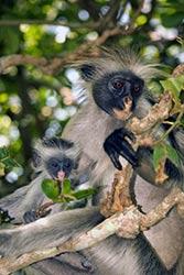 Red colobus monkey Jozani-Chwaka National Park Zanzibar Tanzania Attila JANDI Shutterstock