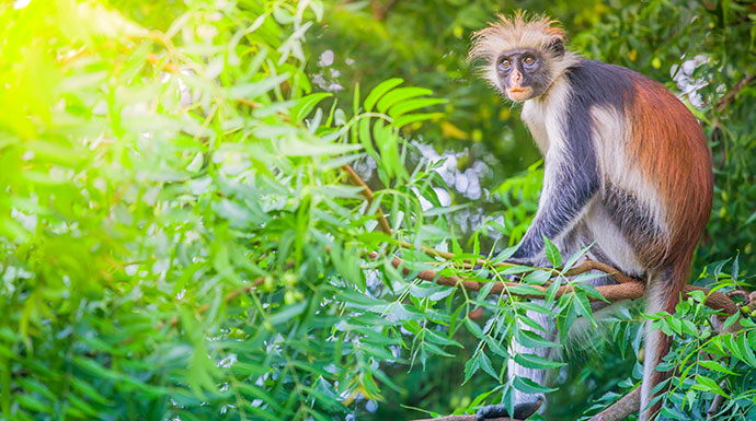 Red colobus monkey Jozani Chwaka Bay National Park Zanzibar Tanzania by yu-jas_Shutterstock