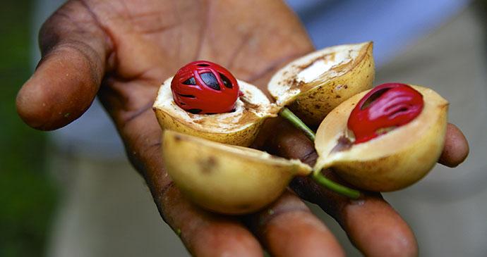 Nutmeg Spice Tour Zanzibar Tanzania by Sivanadar Shutterstock