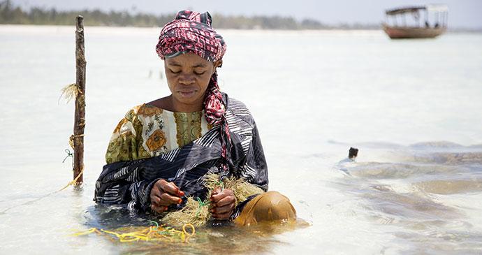 Paje seaweed farm zainzibar tanzania beach fishing ann taylor shutterstock
