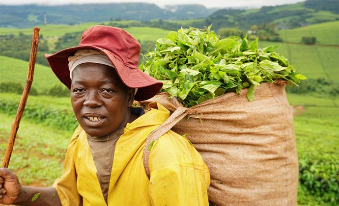 Tea growing Honde Valley Zimbabwe by Nicole Motteux