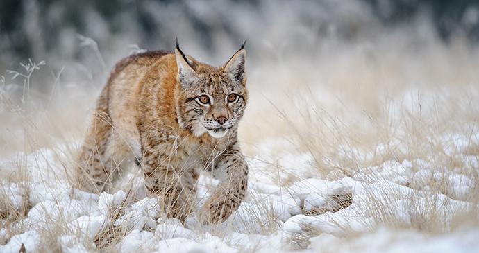 Eurasian lynx Aksu Zhabagly Nature Reserve Kazakhstan by Stanislav Duben, Shutterstock