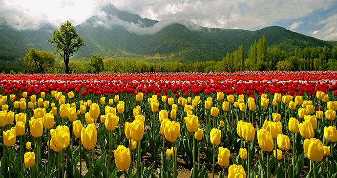Tulip fields Kashmir India by J&K Tourism