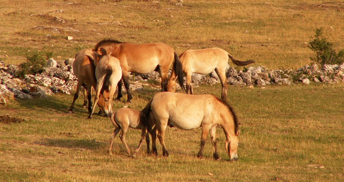Takhi horses, Mongolia by Jairo S. Feris Delgado, Wikimedia Commons