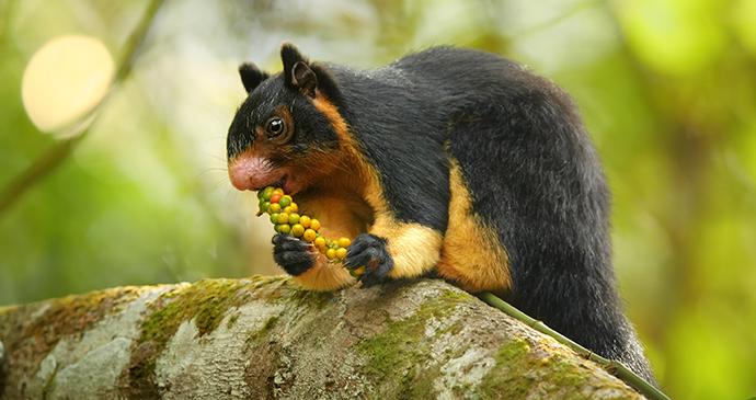 Sri Lankan Giant Squirrel Sinharaja Forest Reserve Sri Lanka © TravelLocal