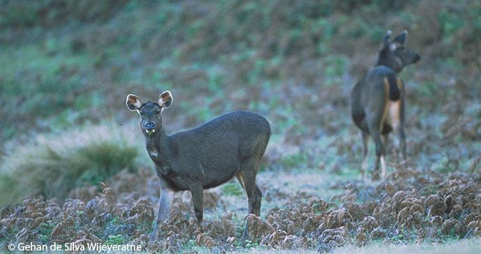 Sambar deer Horton Plains National Park Sri Lanka