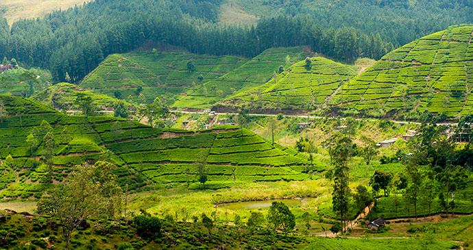 tea plantation sri lanka by anton gvozdikov shutterstock