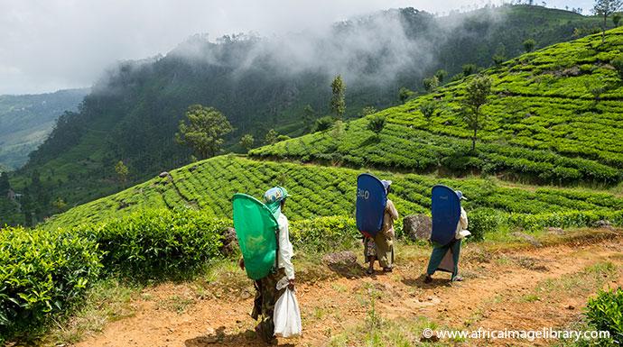 Tea plantation Sri Lanka by Ariadne Van Zandbergen